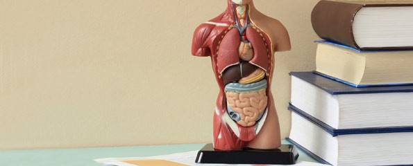 Artificial Model of the human body.